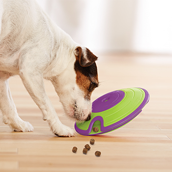 Jack Russell Terrier uses nose to spill treats out of interactive toy