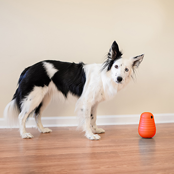 Border Collie looking at the camera and standing next to Outward Hound Dog Pyramid Game