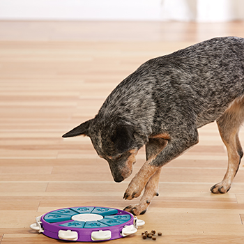 Australian Cattle Dog playing a dog puzzle and winning treats