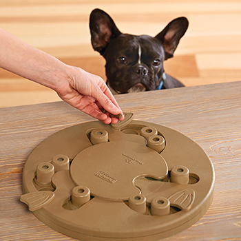 French Bulldog watches a person load treats into a dog puzzle