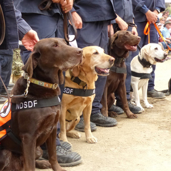 Four search and rescue dogs sit in front of handlers ready for action